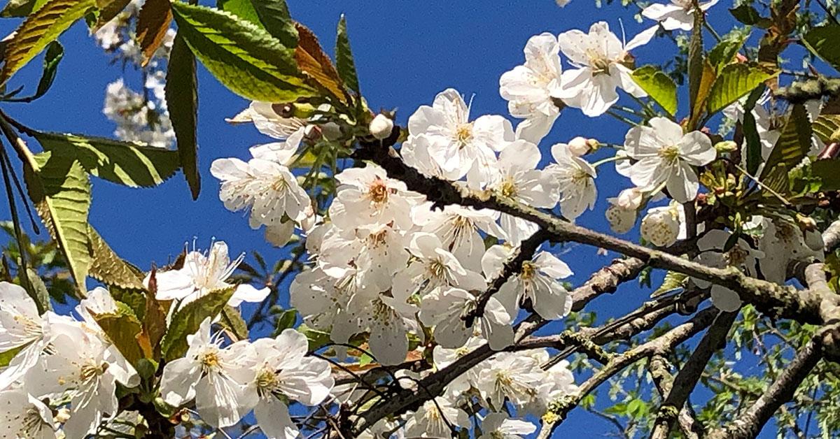Cherry blossom Solihull