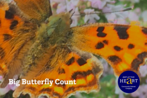 Picture of a butterfly for the Big Butterfly Count