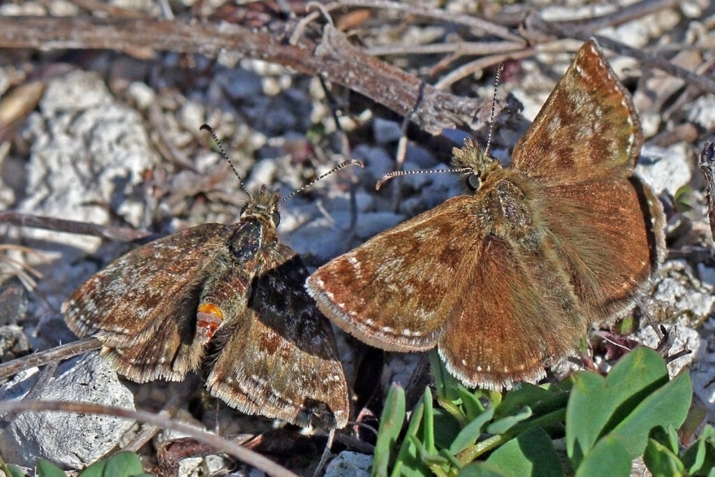 Image of a Dingy Skipper butterfly