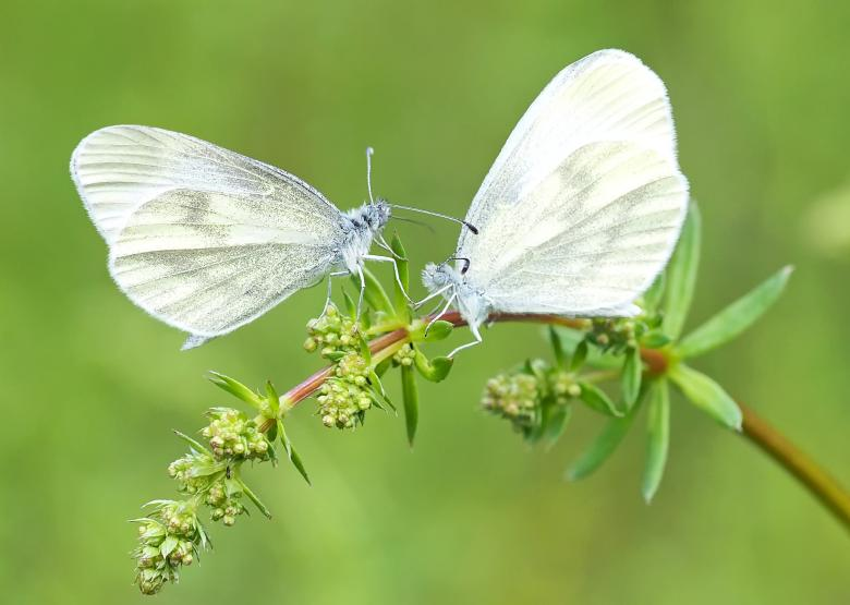 Image of a Wood White butterfly